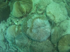 Mushroom coral on its deathbed
