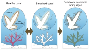 Coral bleaching mechanism. Just because coral is bleached doesn't mean it's dead, but instead more susceptible to disease and slow growth without photosynthesizing zooxanthellae (isn't that a great word?!)