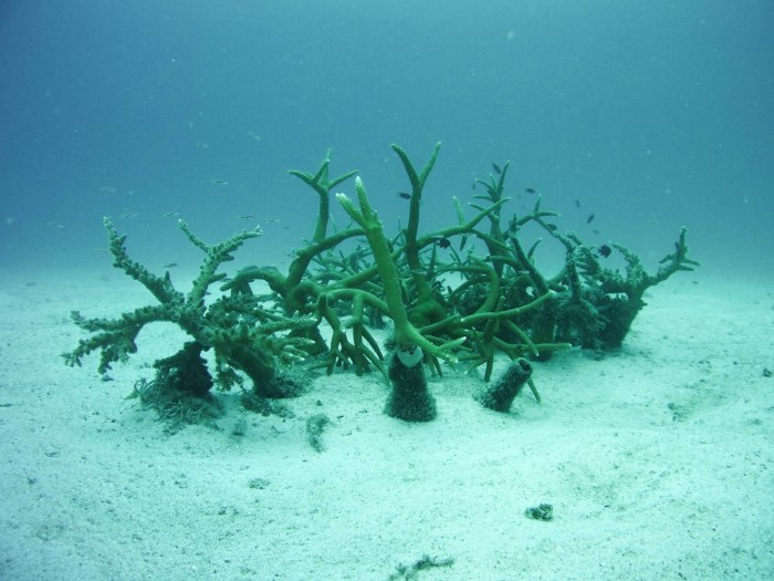 bottle nurseries are a quick, cheap, and effective way of giving branching coral a second shot