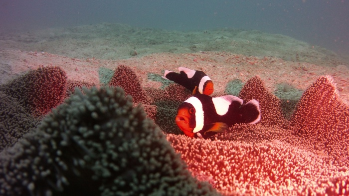 saddleback anemonefish. while these cute lil' fellas are first and foremost a plot to get you to read more...