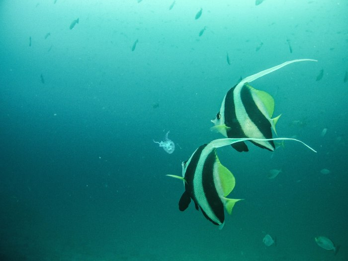 these longfin bannerfish much on one of many jellyfish. I am not a big fan of jellyfish.