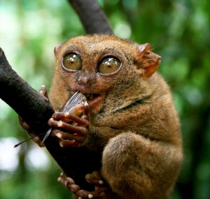 Ally's worst nightmare, or a Tarsier. Happy I saw one, and very happy it didn't jump on me.