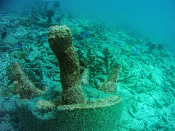 Coral grows over a bottle nursery, a cheap and easy way to repurpose bottles and get coral out of the silt.