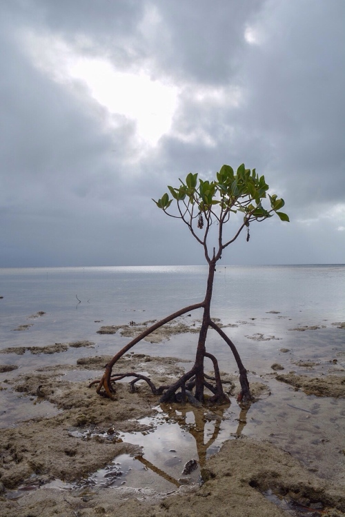 Mangroves on Caqalai