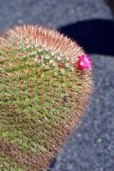 cactus bubs